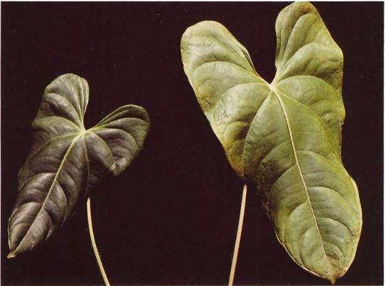کمبود فسفر در عکس سمت چپی و سمت راستی معمولی