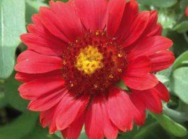 بذر گل رعنا قرمز