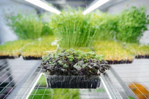 نحوه کاشت بذر ریحان سبز