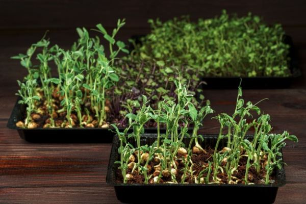 زمان مناسب کاشت بذر ریحان سبز