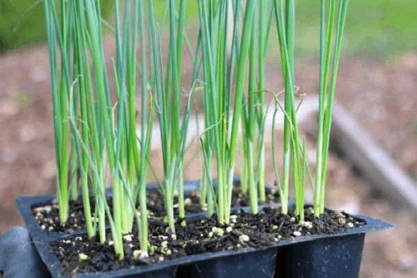 کاشت بذر تره