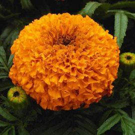 جعفری نارنجی
