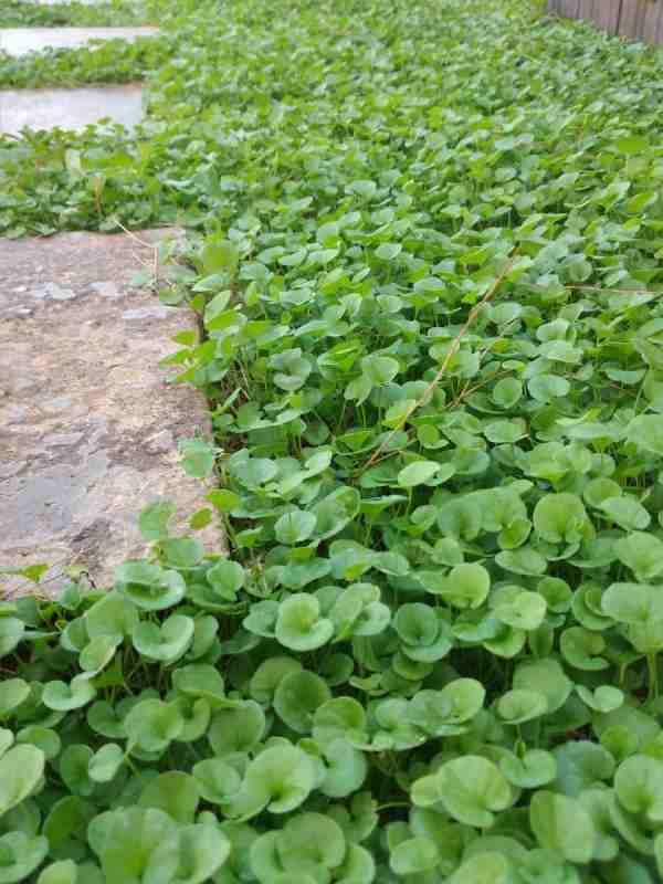 کاشت بذر چمن دایکوندرا