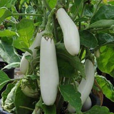 بادنجان سفید گلدانی
