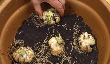 کاشت پیاز لیلیوم در گلدان