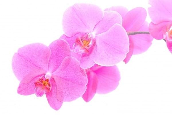 تکثیر گل ارکیده فالانوپسیس سفید تک شاخه