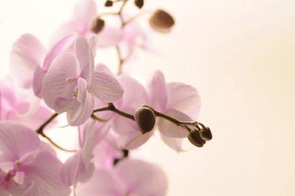 نگهداری گل ارکیده فالانوپسیس صورتی تک شاخه