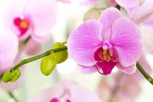 تکثیر گل ارکیده فالانوپسیس صورتی تک شاخه