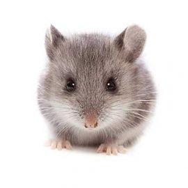 سم مخصوص موش