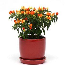 فلفل زینتی گلدانی
