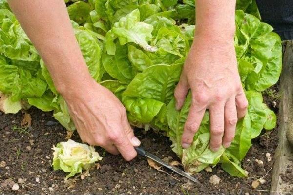 نحوه کاشت بذر کاهو سالادی