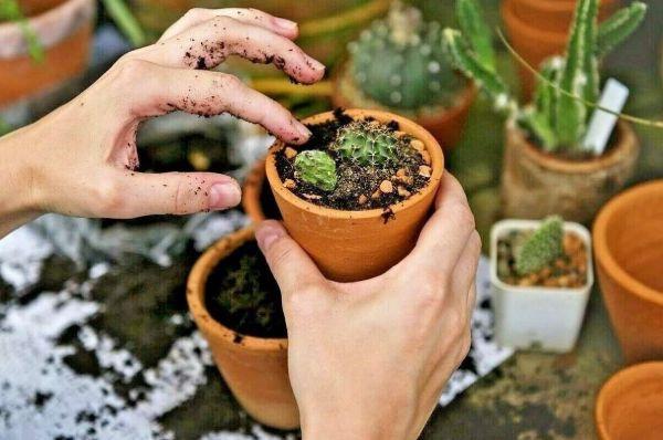 موارد استفاده از خاک کاکتوس گرامافلور