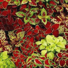 coleus_fairway_mix_seeds_solenostemon_scutellarioides
