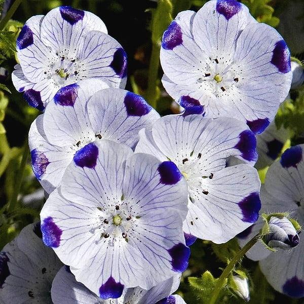 گل نموفیلا