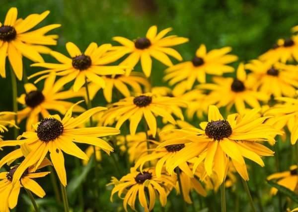 معرفی بذر کوکب کوهی زرد رقم Marmalade