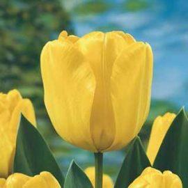 پیاز لاله زرد رقم golden ApelDoorn