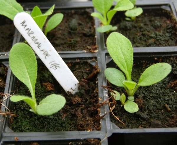 نحوه کاشت بذر کوکب کوهی زرد رقم Marmalade