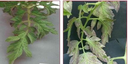 راست:کمبود فسفر چپ:سالم