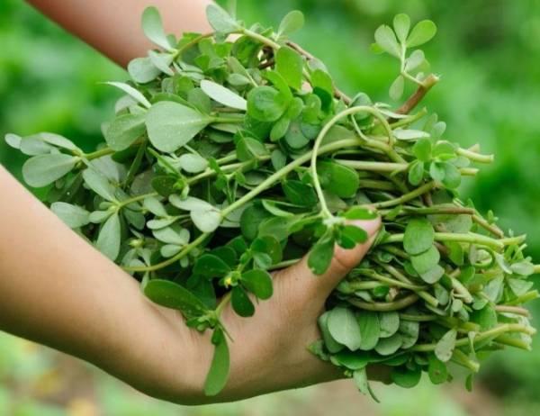 بذر خرفه سبزیجات با خواص فراوانی که دارند، در بسیاری از غذاها به کار رفته و به صورت خام یا پخته مصرف می شوند. یکی از این سبزیجات پرخاصیت خرفه است. این گیاه با امگا-3 فراوانی که دارد، درمان بسیاری از بیماری های گوارشی بوده و حتی نیش حشرات را نیز بهبود می بخشد. توصیه می کنیم بذر خرفه را خریداری کرده و در خانه یا باغچه پرورش دهید. به این صورت در هر زمان که نیاز داشته باشید، به این سبزی پرخاصیت دسترسی دارید. معرفی بذر خرفه یکی از گیاهان یکساله و قدیمی که در بین انسان ها بسیار پرطرفدار بوده، خرفه با نام portulaca oleracea است. این گیاه در بین مردم آمریکای شمالی و استرالیا نیز طرفدار داشته و به عنوان گیاهی خوراکی به کار می رود. سبزی گرمادوست خرفه، از خانواده portulacacea محسوب شده و در دمای بالا به خوبی گسترش می یابد؛ از این رو بوته های خرفه نسبت به هوای سرد و سرما حساسیت داشته و به راحتی از بین می روند. بوته های این سبزی، علفی، گوشتی و خوابیده بوده، هر بوته رشد یافته آن فضایی به قطر 60 سانتی متر اشغال می کند. ساقه های خرفه چندین بار منشعب شده و برگ های آن بدون کرک، گوشتی، ضخیم، قاشقی شکل با حاشیه هایی صاف و بدون دمبرگ هستند. طول برگ ها به 4 الی 28 میلی متر و پهنای آن ها به 2 الی 13 میلی متر می رسد. این گیاه سرشار از امگا -3، پروتئین، چربی، کربوهیدرات، تیامین، ریبوفلاوین، نیاسین، ویتامین A، ویتامین B6، فولات یا ویتامین B9، ویتامین C، ویتامین E، کلسیم، آهن، منیزیم، فسفر، منگنز، پتاسیم و روی است. همچنین برگ های این گیاه تاثیر خارق العاده ای در درمان نیش حشرات، سوختگی ها، مارگزیدگی، زخم ها، درد ناشی از نیش زنبور، اسهال، اسهال خونی، هموروئید، خونریزی روده ای و خونریزی پس از زایمان دارد. نوع بذر خرفه این محصول از نوع ژنوتیپ به شمار می رود. محصولات کشاورزی در دسته های گوناگونی تقسیم می شوند که هر یک ممکن است توسط اصلاح گران یا کشاورزان تولید شده باشند. این سبزی تمامی خصوصیات ژنتیکی بذر سبزی خرفه را در خود جای داده و به طور کلی در ژنتیک آن تغییراتی حاصل شده است. نحوه کاشت بذر خرفه این گیاه به دو روش نشایی یا مستقیم در زمین اصلی کاشته می شود. عمق لازم برای کاشت سبزی خرفه 1 الی 2 سانتی متر بوده و اگر اقدام به کاشت در زمین کردید، بستر مناسب را برای بذرها فراهم کرده و آن ها را بکاری