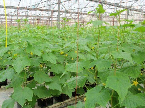 کاشت خیار هیدروپونیک