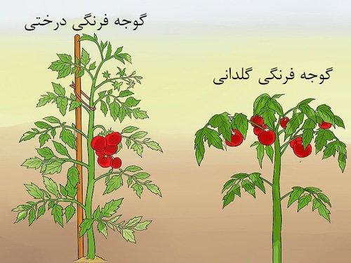 فرق بین گوجه فرنگی درختی با گلدانی
