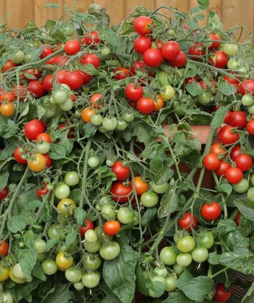 گوجه چری درختی