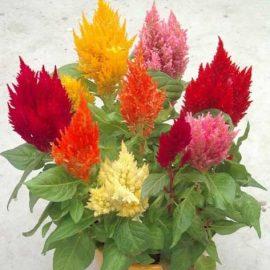 فروش بذر گل تاج خروس شعله