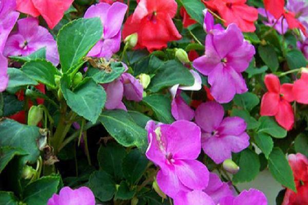 بذر گل حنا باغچه ای میکس