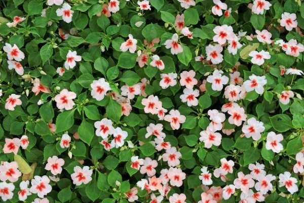 کاشت بذر گل حنا