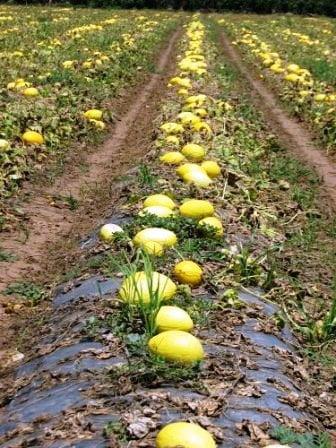 آبیاری مزرعه