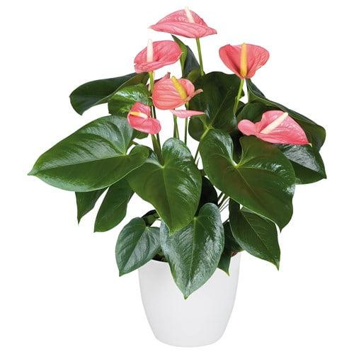 گل آنتوریوم صورتی