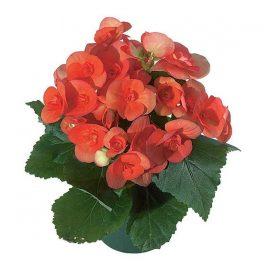 بگونیا هلندی قرمز