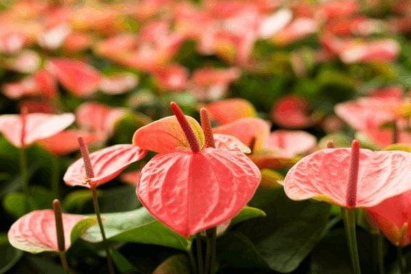 تکثیر گل آنتوریوم قرمز