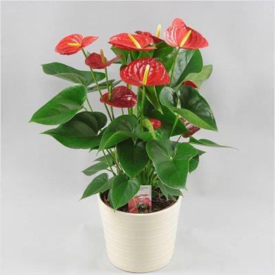 قیمت و خرید گل آنتوریوم قرمز