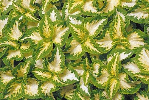 حسن یوسف سبز و سفید