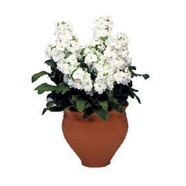 بذر گل شب بو سفید F1