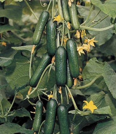 بذر خیار بوته هیبرید