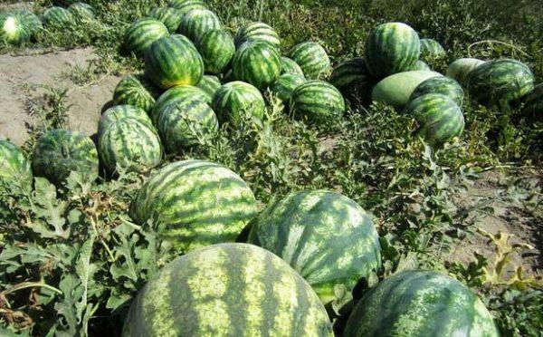 هندوانه دیمی