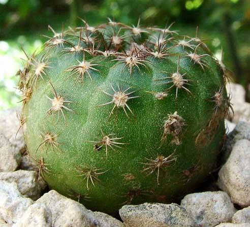 بذر کاکتوس فریلا