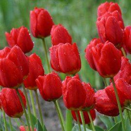 پیاز گل لاله قرمز