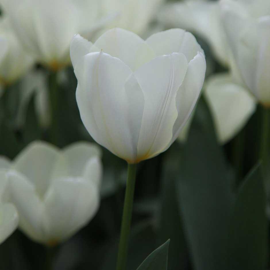 لاله سفید