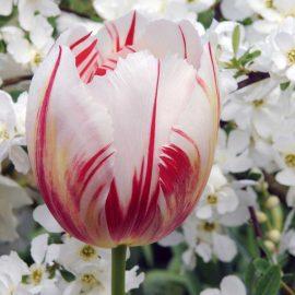 پیاز گل لاله سفید قرمز رقم Happy Generation