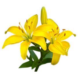 لیلیوم زرد ceb dazzle