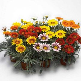 بذر گل گازانیا میکس