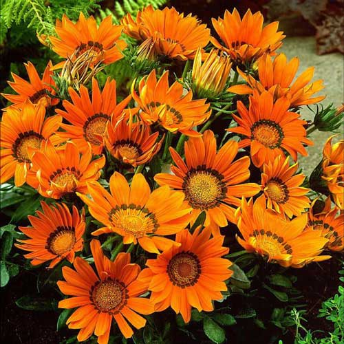 گازانیا نارنجی