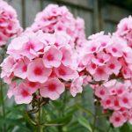 بذر گل فلوکس