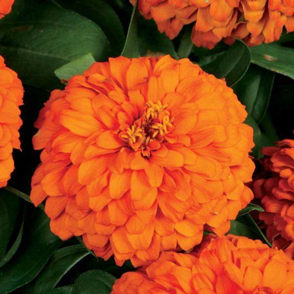 آهار نارنجی ماژلان