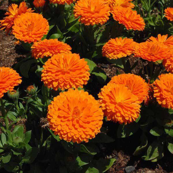 همیشه بهار نارنجی