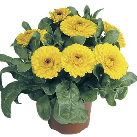 همیشه بهار زرد