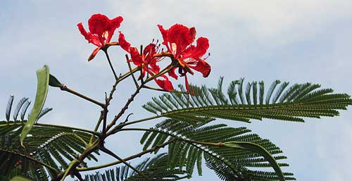 گل درخت مشعل